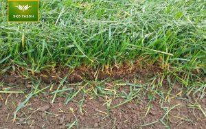 Рулонный газон в срезе